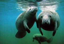 Manatee, Tourism, Irresponsible, USA, America, Natural World, Ocean, Sea, Freshwater, Sea Cow.