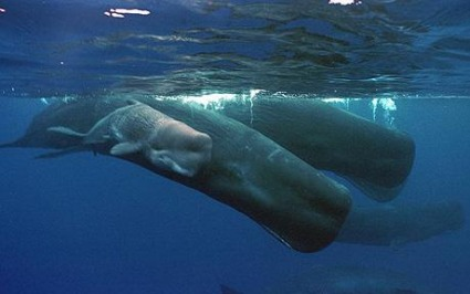 Sperm Whale, Ocean, Animal, Mammal, Calf.